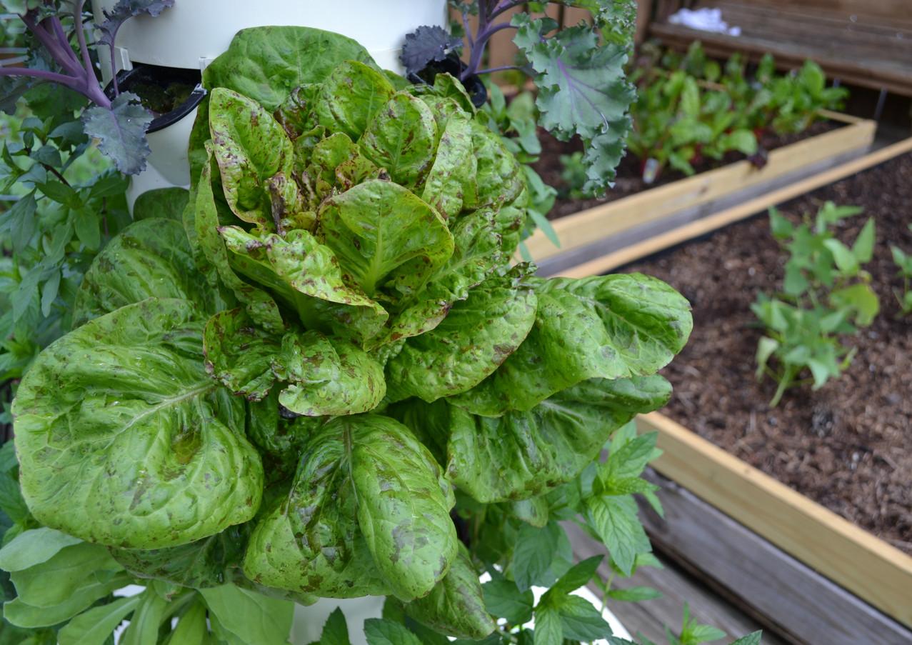 lettuce_18870764289_o.jpg