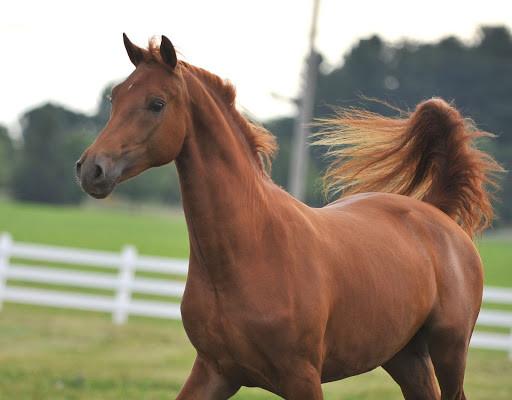 Brown Morgan horse
