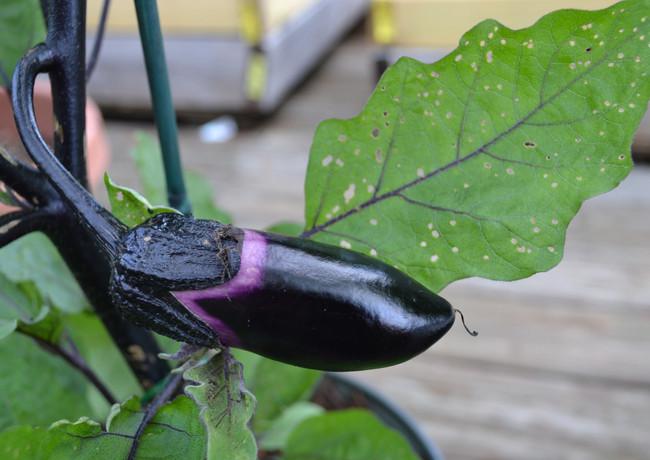 eggplant_19030721106_o.jpg