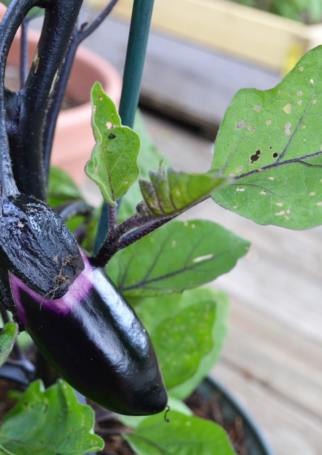 eggplant_18869248290_o.jpg