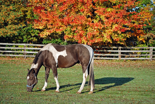 Horse grazing in fall