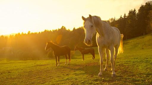 horses in field during golden hour