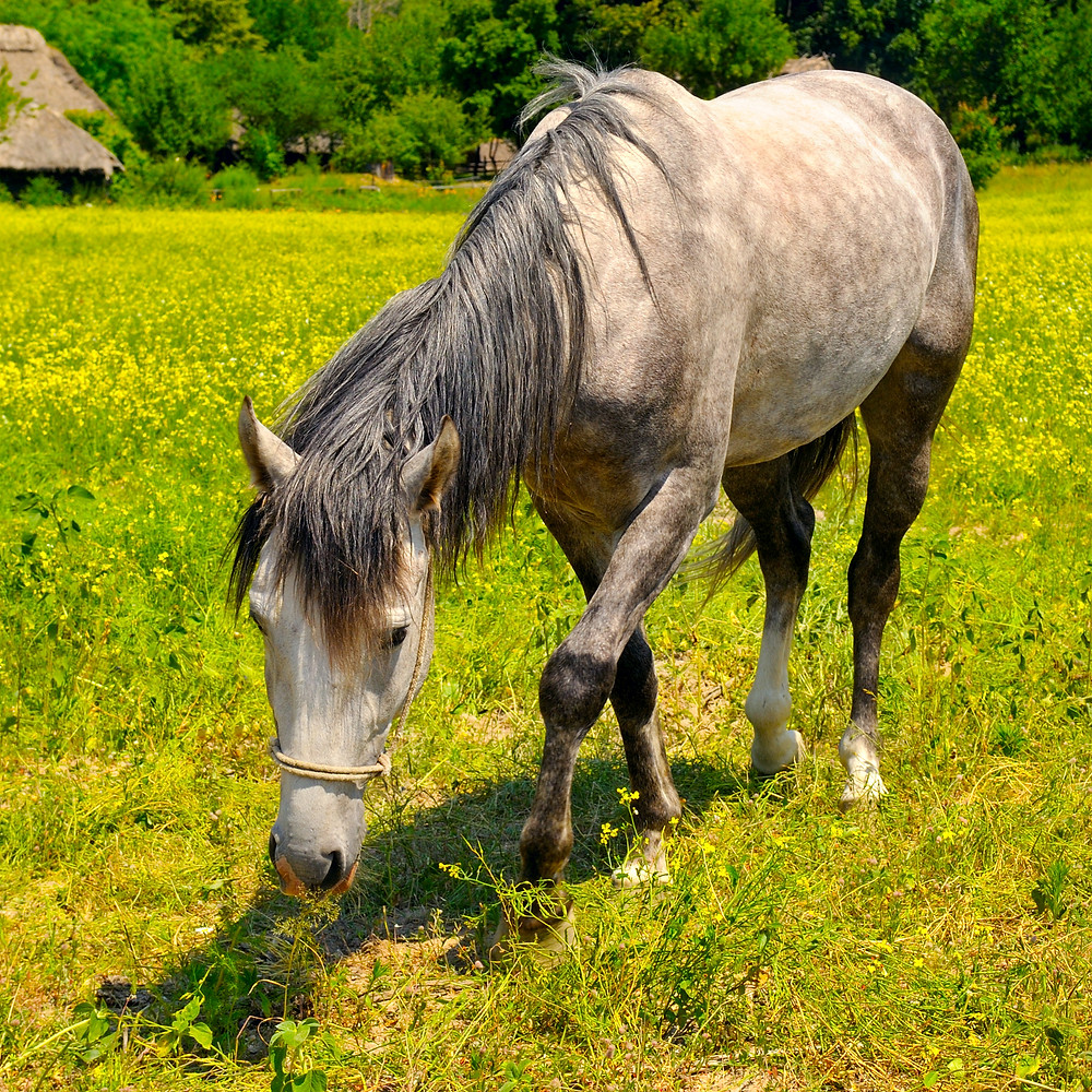 Grey horse eating grass in field
