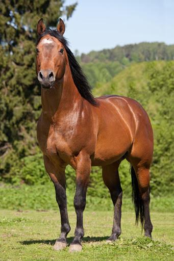 Brown Quarter horse