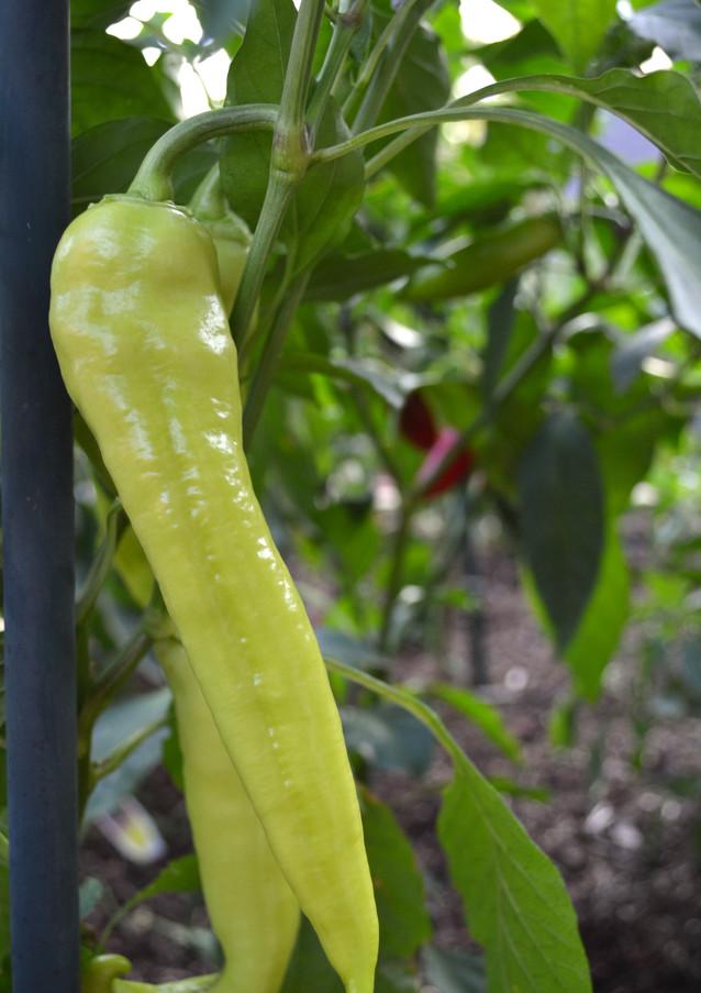 pepper_20275851141_o.jpg