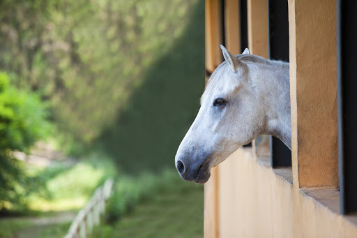 White horse in stall