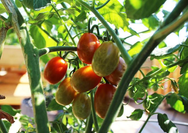 grape-tomatoes_27950490544_o.jpg