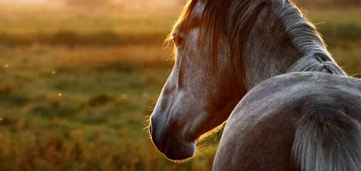 Horse profile during golden hour