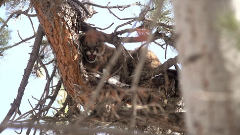 Wild Science: Tracking Mountain Lions with Dogs in Colorado