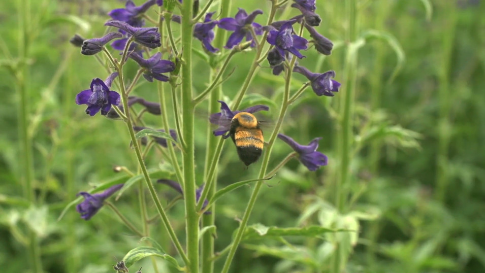 Wild Science: Bumble Bees and Climate Change