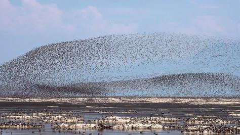 Wild Science: Phalaropes on a Shrinking Great Salt Lake