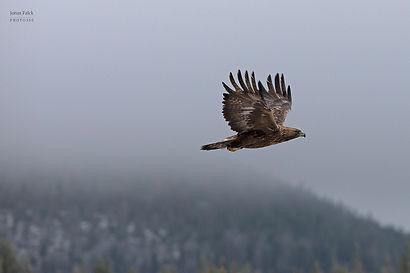 Flygandes Kungsörn