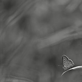 Fjäril (sotguldvinge)