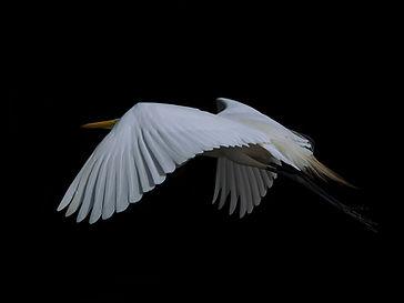 Ägretthäger, flygandes 1