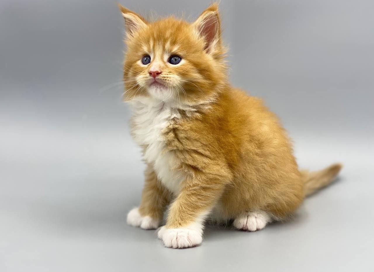 Felix Maine Coone Enchanted kittens.com.