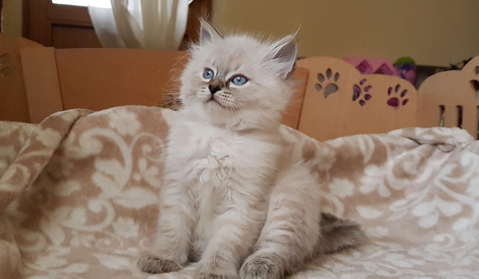 Ofel, A Siberian Kitten