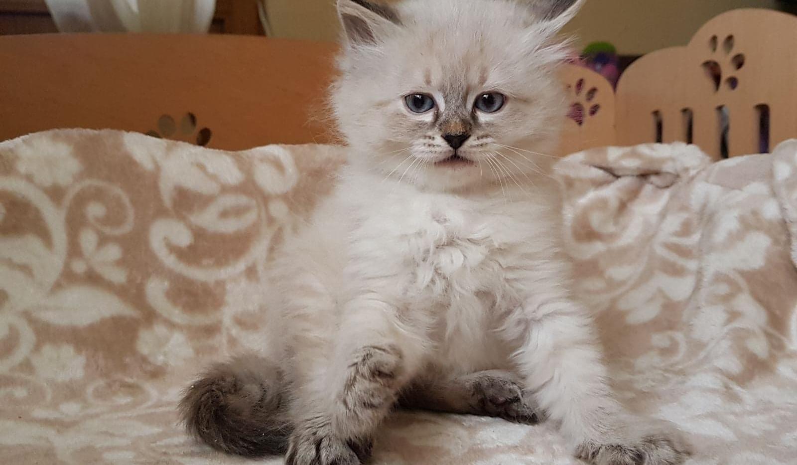 Ofel, Siberian Kitten