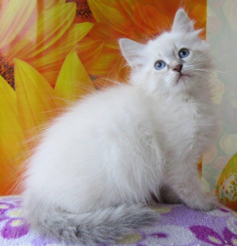Inoken Enchanted Kittens