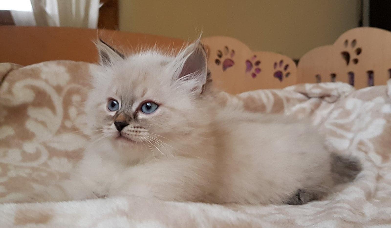 Ofel, a Purebred Siberian Kitten