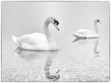 Párik labutí na pokojnej hladine jazera. Slnečné jazerá v Senci.