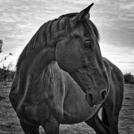 Tmavý kôň.