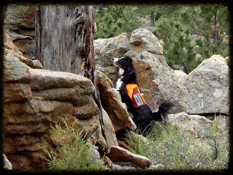 Toss, Wilderness Airscent, scent-specific search dog. Certified through Search and Rescue Dogs of Colorado and fielded through Larimer County Search and Rescue. Toss was trained in tracking and Human Remains Detection, as well as urban, avalanche, and water searching.
