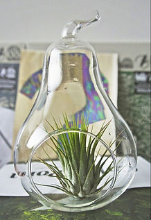 air plant terrarium with ionantha, tillapallo, ilmakasvi, turku