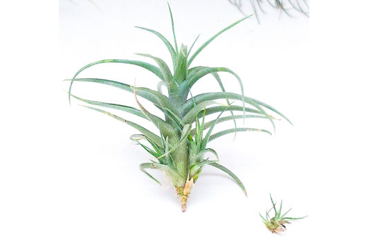 Tillandsia bergeri with pups