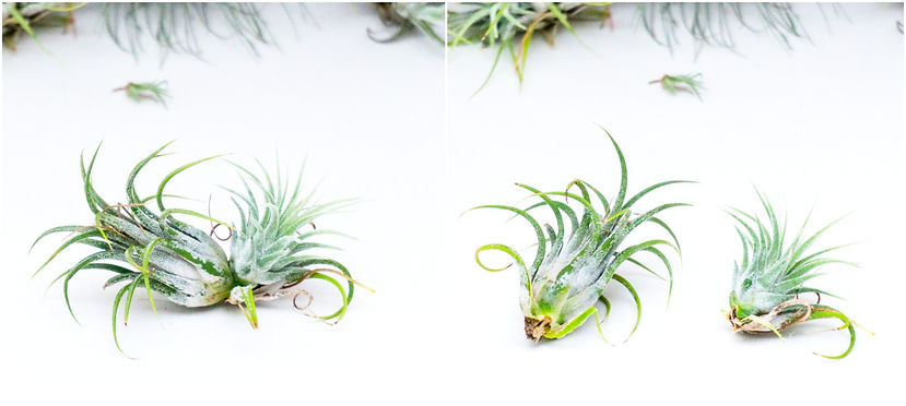Tillandsia ionantha with offspring