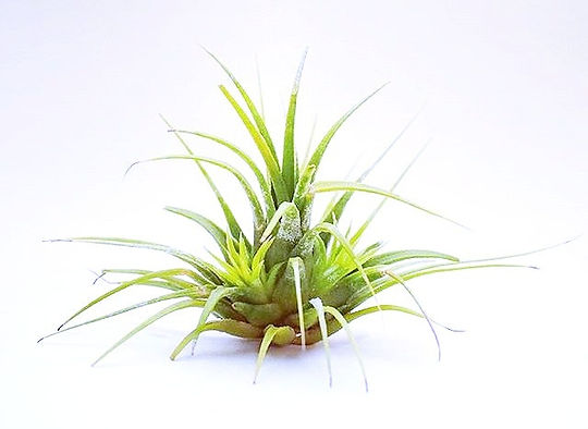 tillandsia ionantha with baby pups