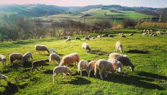 moutons dehors.jpg