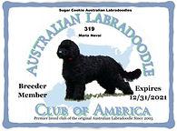 319 Sugar Cookie Australian Labradoodles