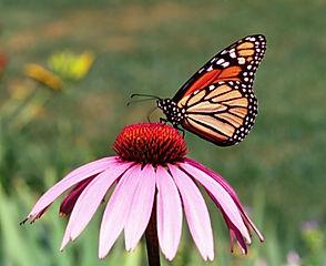 papillon_fleur_credit_us_department_of_a