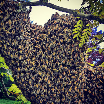 Bel essaim d'abeilles