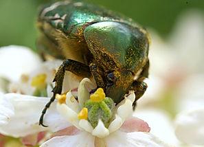 cetoine-pollen-fleur-pollinisation.jpg