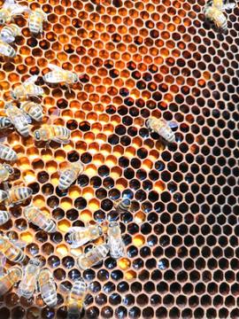 Cadre de pollen et nectar