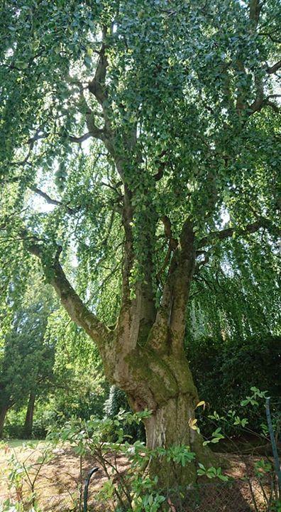 ブーレーズのお宅前の大きな木