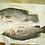 Thumbnail: Asian Sea bass/Barramundi