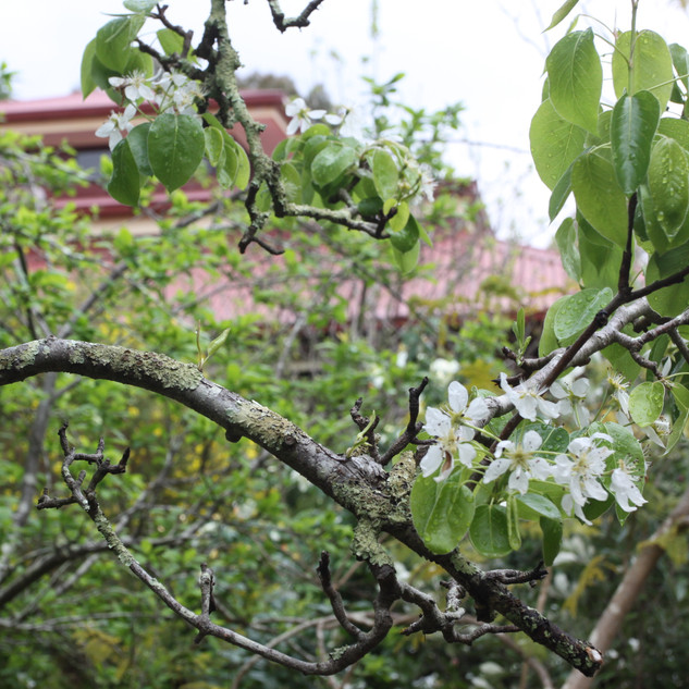 tree branch, flowers, gompa in background