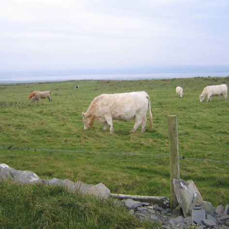 Cattle along the Cliff