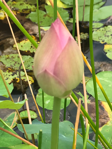 """""""Just like the Lotus, we too have the ability to rise from the mud, bloom out of the darkness and radiate into the world."""" Unknown"""