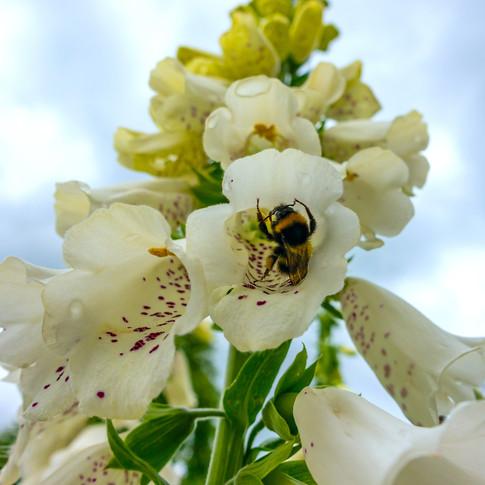 (1457) Bee on White Foxglove (Digitalis)