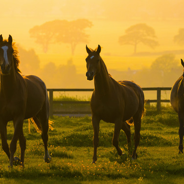 (1108) Horses at Golden Hour, Ratho, Edi