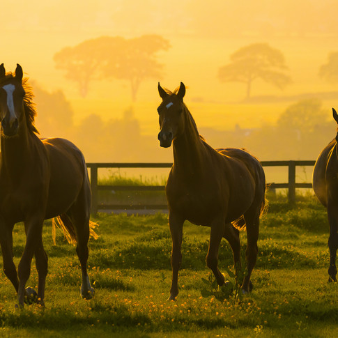 (1108) Horses at Golden Hour, Ratho, Edi