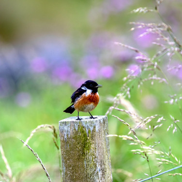 (1474) Stonechat, Beach, Isle of Lewis,