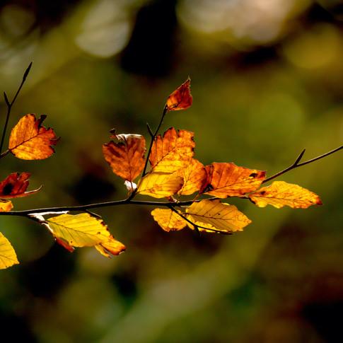 (1544) Beautiful Autumn Leaves, Pentland