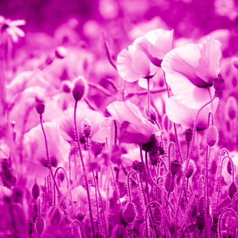 (1551) Red Poppies, Pink Filter, Ratho,