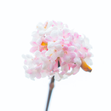 (1290) White and Pink Flower High Key, W