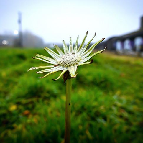 (1549) Decaying Flower, Industrial Estat