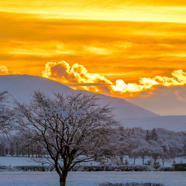 (933) Lone Tree in Snow, Golden Winter S